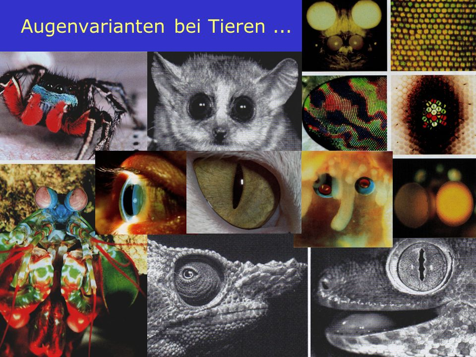 17 Augenvarianten bei Tieren...