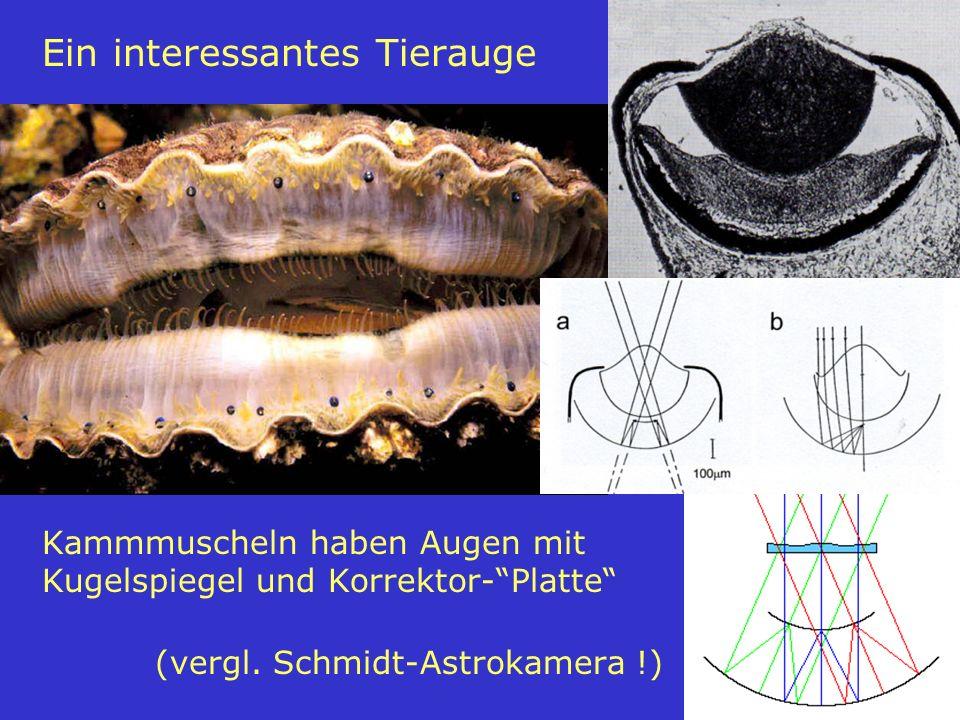 22 Ein interessantes Tierauge Kammmuscheln haben Augen mit Kugelspiegel und Korrektor-Platte (vergl. Schmidt-Astrokamera !)