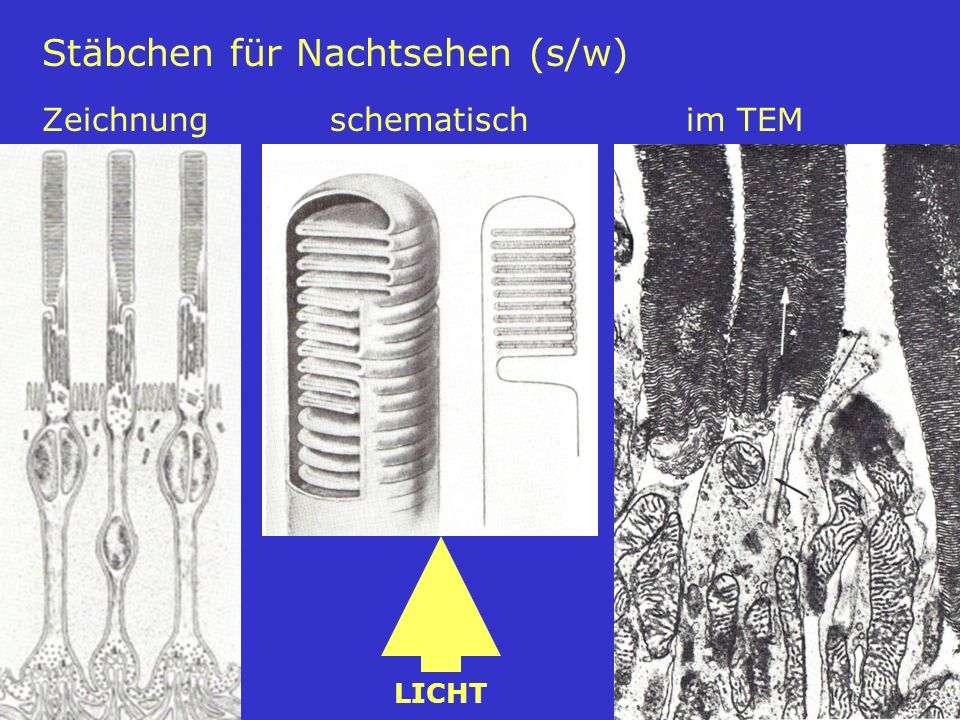 39 Stäbchen für Nachtsehen (s/w) Zeichnungschematisch im TEM LICHT