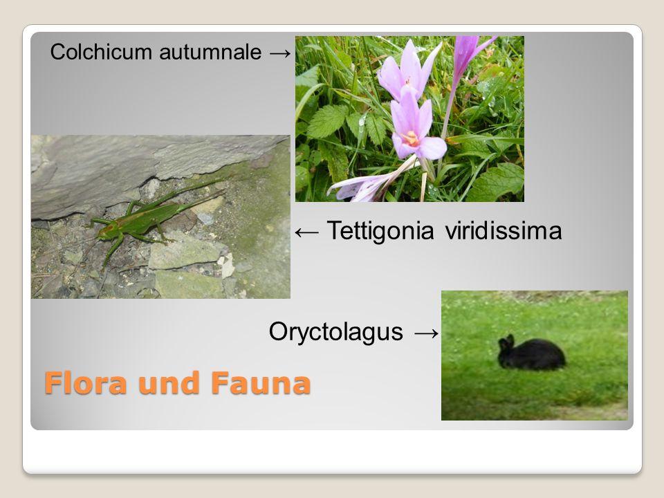 Flora und Fauna Colchicum autumnale Tettigonia viridissima Oryctolagus
