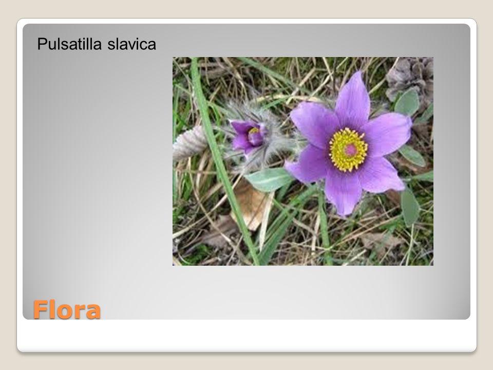 Flora Pulsatilla slavica