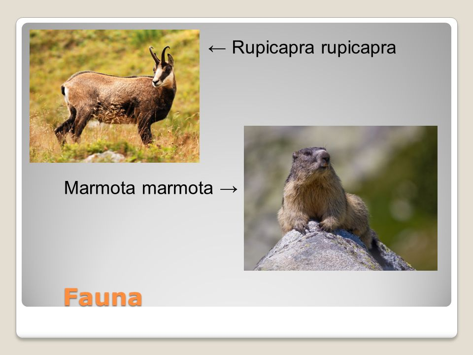 Fauna Fauna Rupicapra rupicapra Marmota marmota