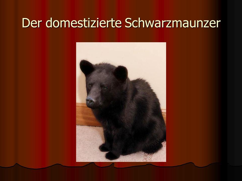 Der domestizierte Schwarzmaunzer