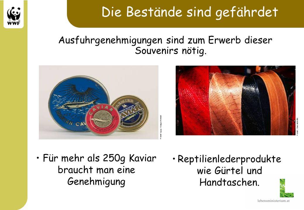 Die Bestände sind gefährdet Ausfuhrgenehmigungen sind zum Erwerb dieser Souvenirs nötig. Für mehr als 250g Kaviar braucht man eine Genehmigung Reptili