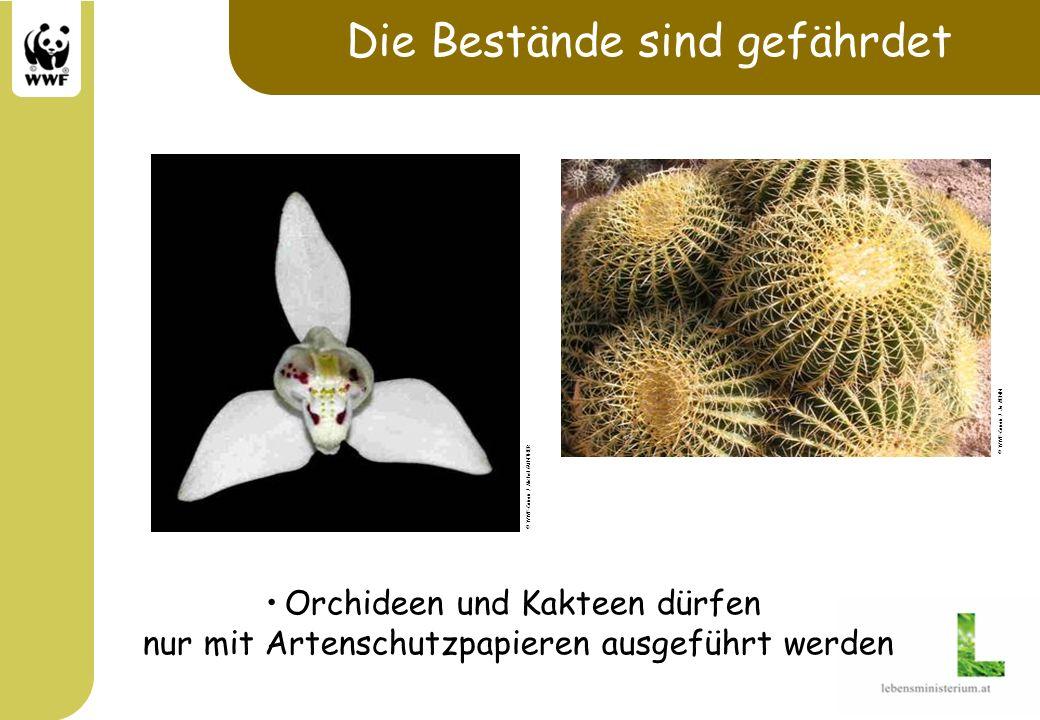 Die Bestände sind gefährdet Orchideen und Kakteen dürfen nur mit Artenschutzpapieren ausgeführt werden © WWF-Canon / Michel GUNTHER © WWF-Canon / Jo B