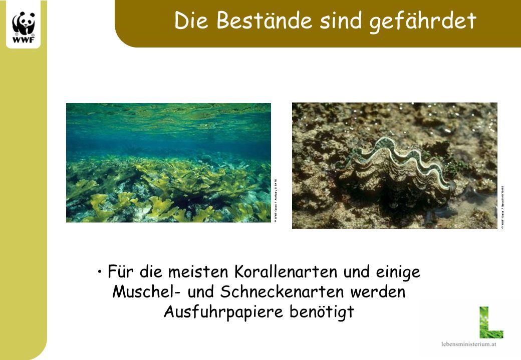 Die Bestände sind gefährdet Für die meisten Korallenarten und einige Muschel- und Schneckenarten werden Ausfuhrpapiere benötigt © WWF-Canon / Anthony