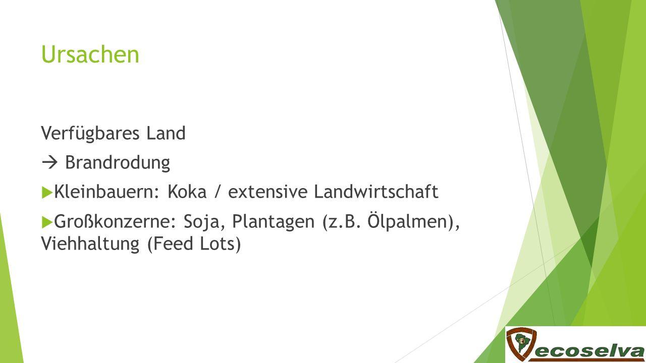 Ursachen Verfügbares Land Brandrodung Kleinbauern: Koka / extensive Landwirtschaft Großkonzerne: Soja, Plantagen (z.B. Ölpalmen), Viehhaltung (Feed Lo