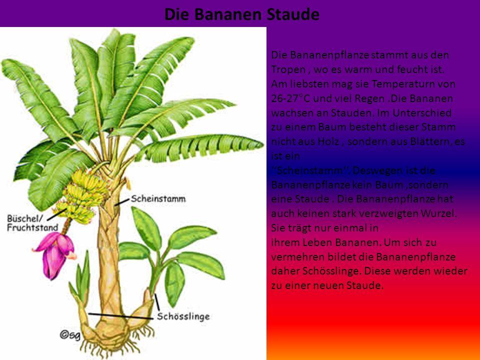 Die Bananen Staude Die Bananenpflanze stammt aus den Tropen, wo es warm und feucht ist.