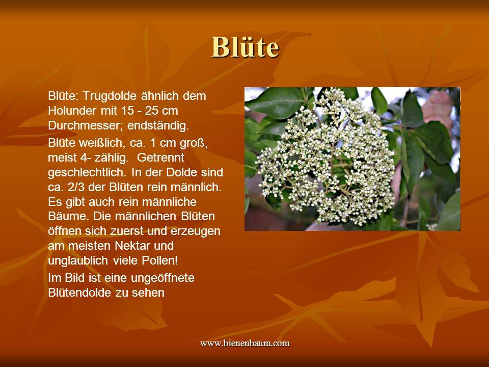 www.bienenbaum.com Blüte Blüte: Trugdolde ähnlich dem Holunder mit 15 - 25 cm Durchmesser; endständig.
