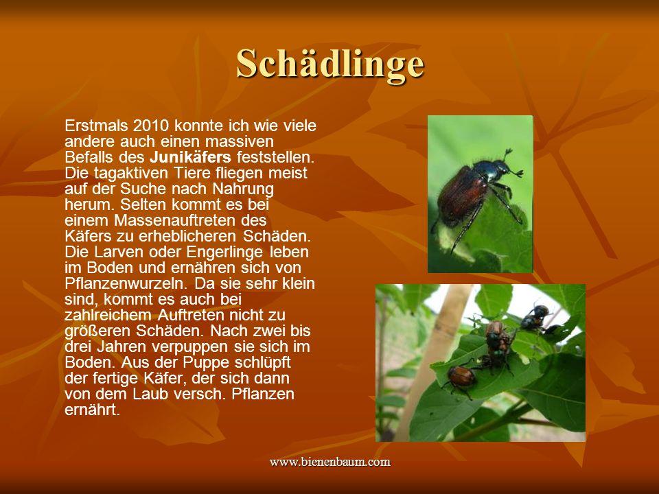 www.bienenbaum.com Schädlinge Erstmals 2010 konnte ich wie viele andere auch einen massiven Befalls des Junikäfers feststellen.