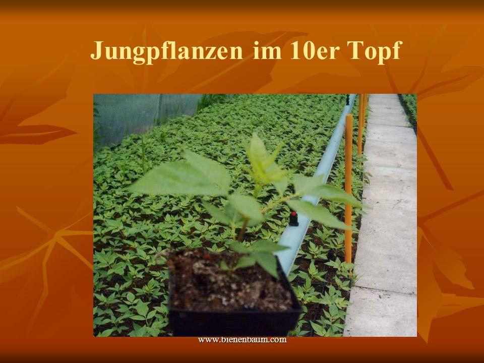 www.bienenbaum.com Jungpflanzen im 10er Topf