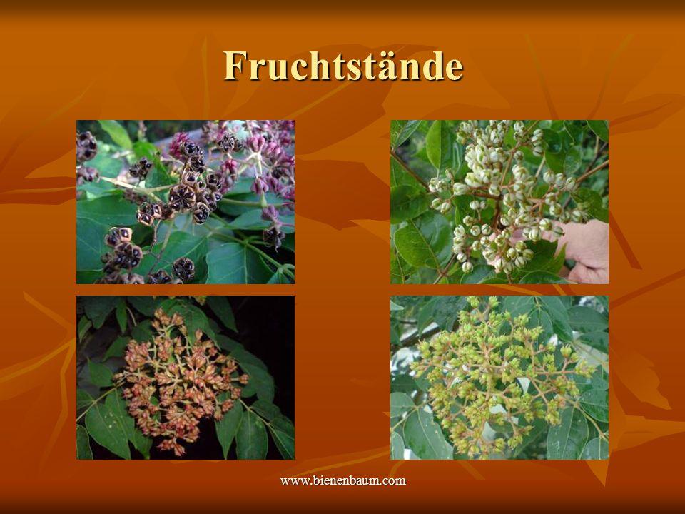 www.bienenbaum.com Fruchtstände