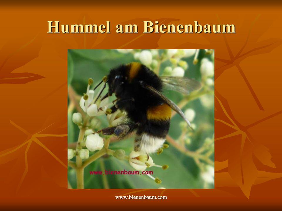 www.bienenbaum.com Hummel am Bienenbaum
