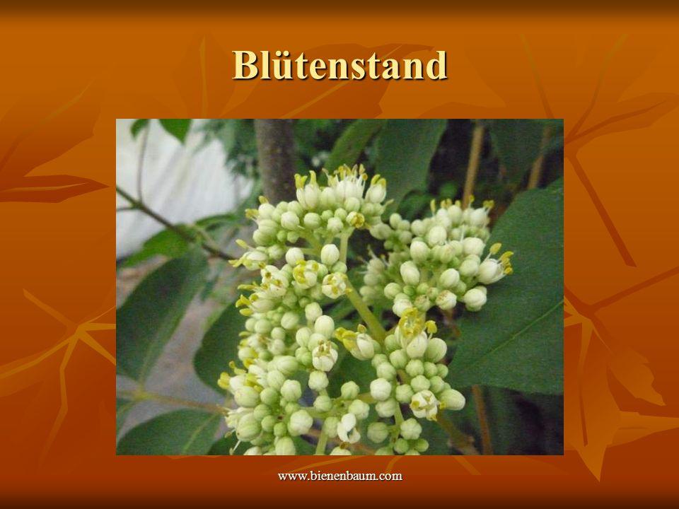 www.bienenbaum.com Blütenstand