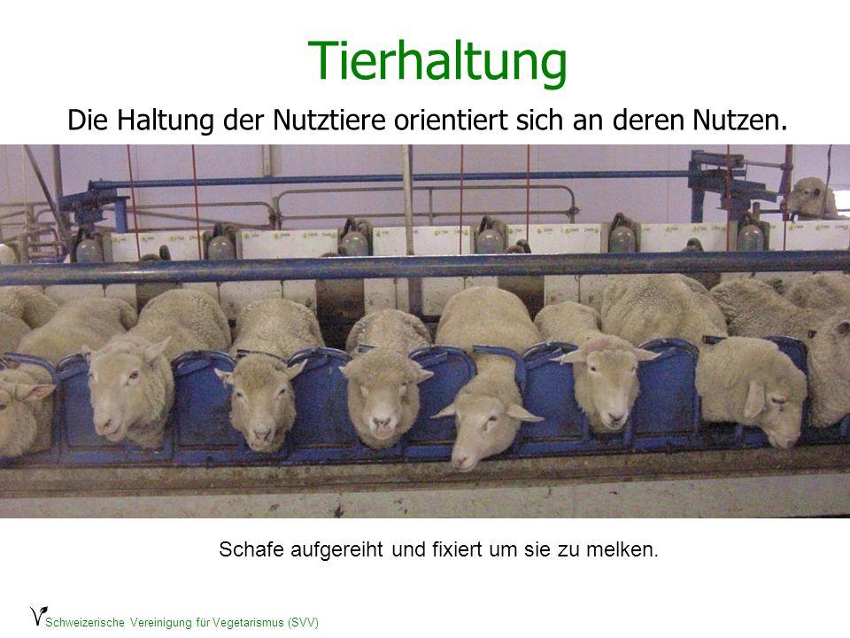Schweizerische Vereinigung für Vegetarismus (SVV) Tierhaltung Die Haltung der Nutztiere orientiert sich an deren Nutzen. Schafe aufgereiht und fixiert