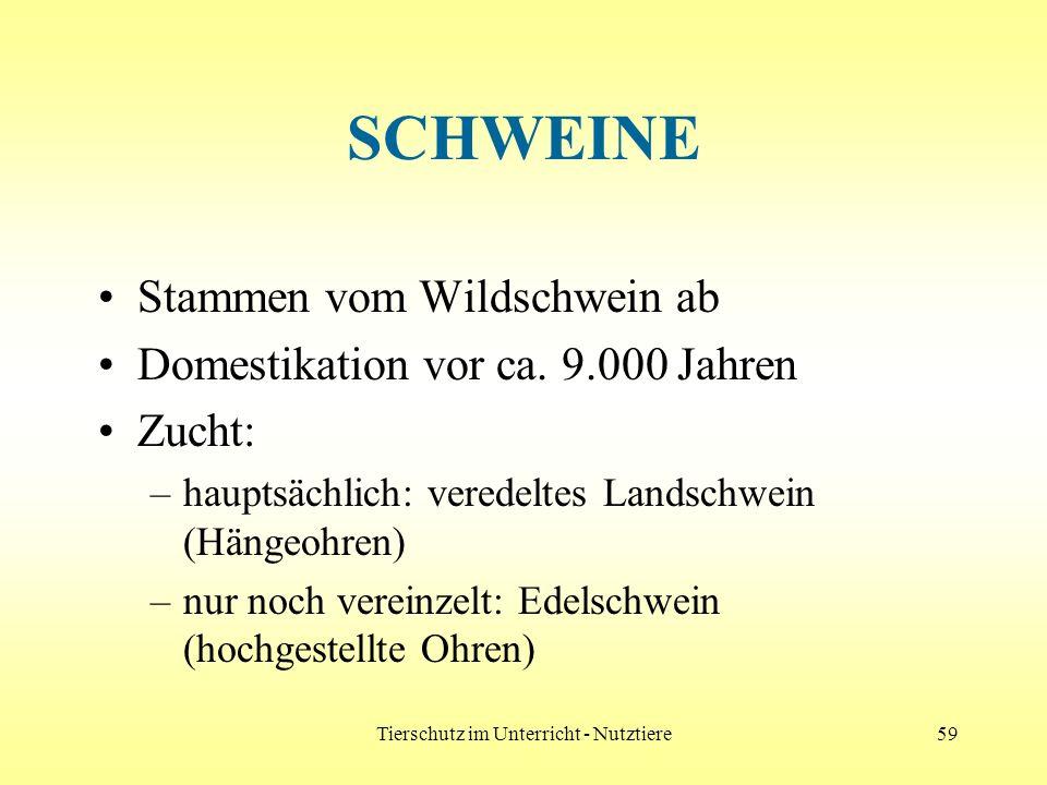 Tierschutz im Unterricht - Nutztiere59 SCHWEINE Stammen vom Wildschwein ab Domestikation vor ca. 9.000 Jahren Zucht: –hauptsächlich: veredeltes Landsc
