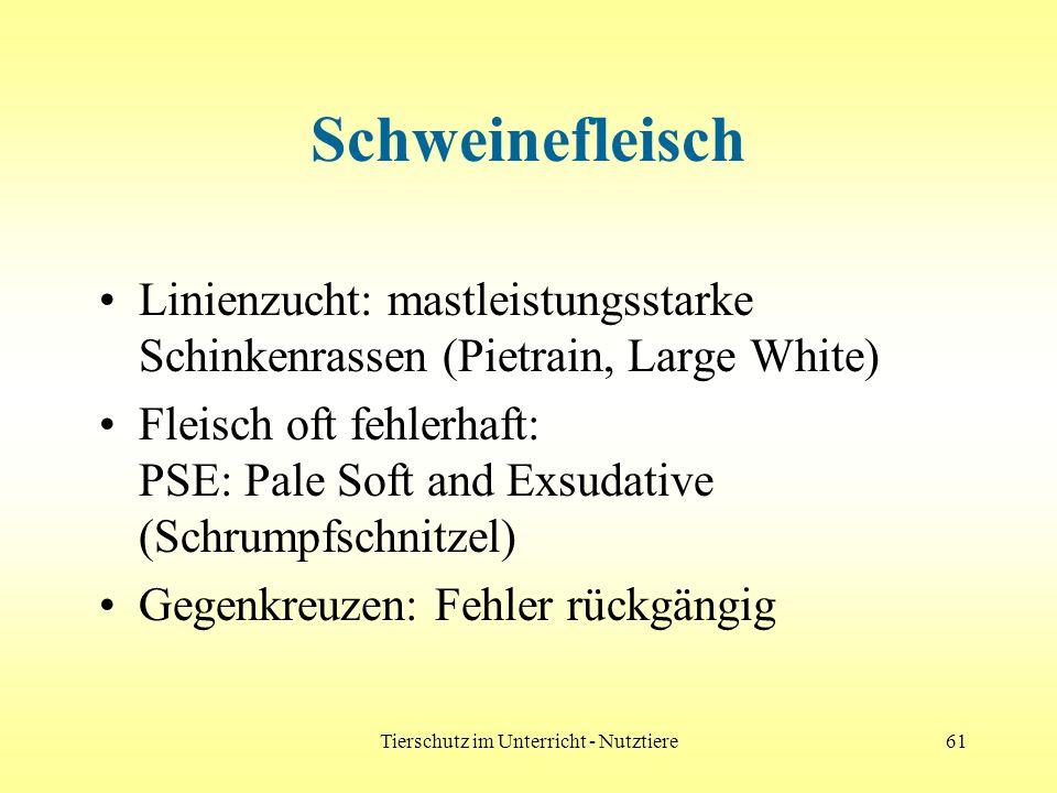 Tierschutz im Unterricht - Nutztiere61 Schweinefleisch Linienzucht: mastleistungsstarke Schinkenrassen (Pietrain, Large White) Fleisch oft fehlerhaft: