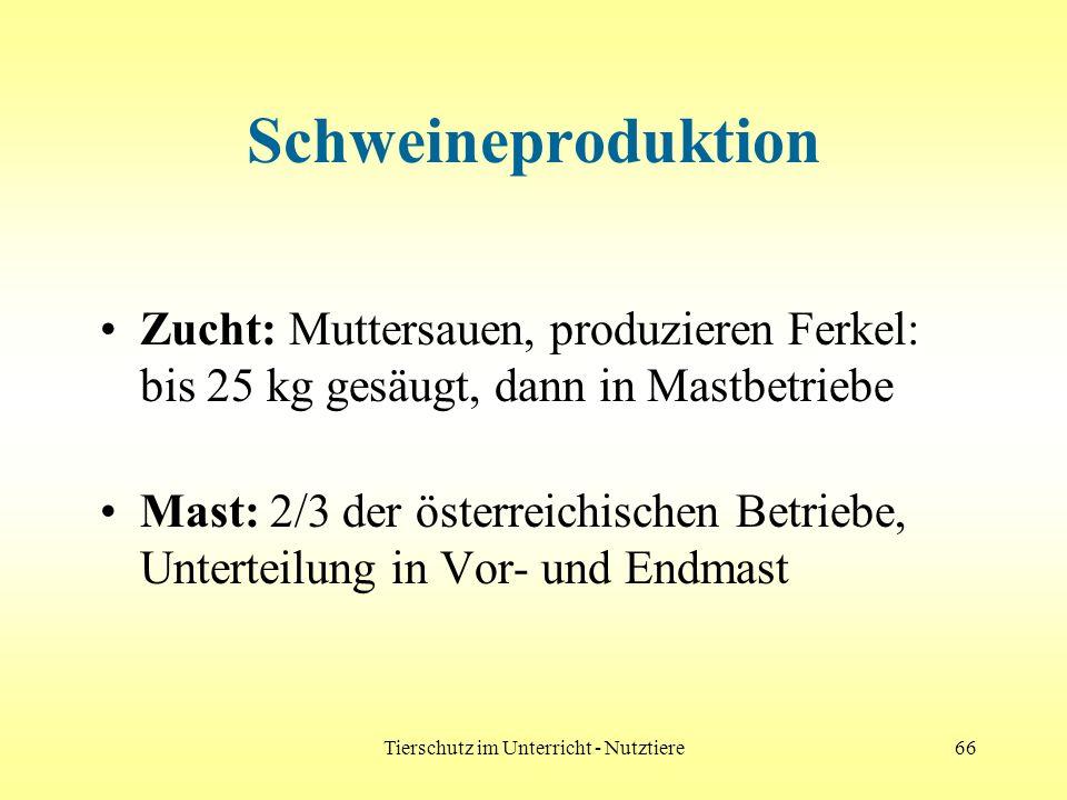 Tierschutz im Unterricht - Nutztiere66 Schweineproduktion Zucht: Muttersauen, produzieren Ferkel: bis 25 kg gesäugt, dann in Mastbetriebe Mast: 2/3 de