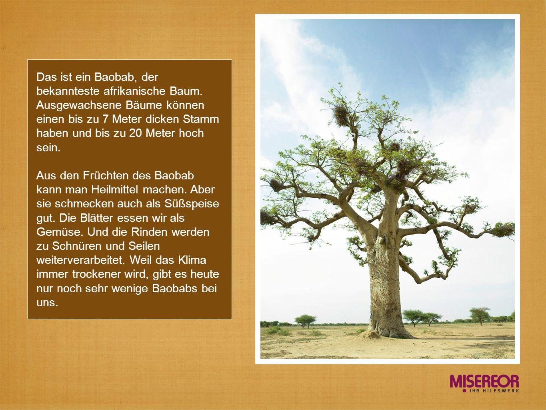 Das ist ein Baobab, der bekannteste afrikanische Baum. Ausgewachsene Bäume können einen bis zu 7 Meter dicken Stamm haben und bis zu 20 Meter hoch sei