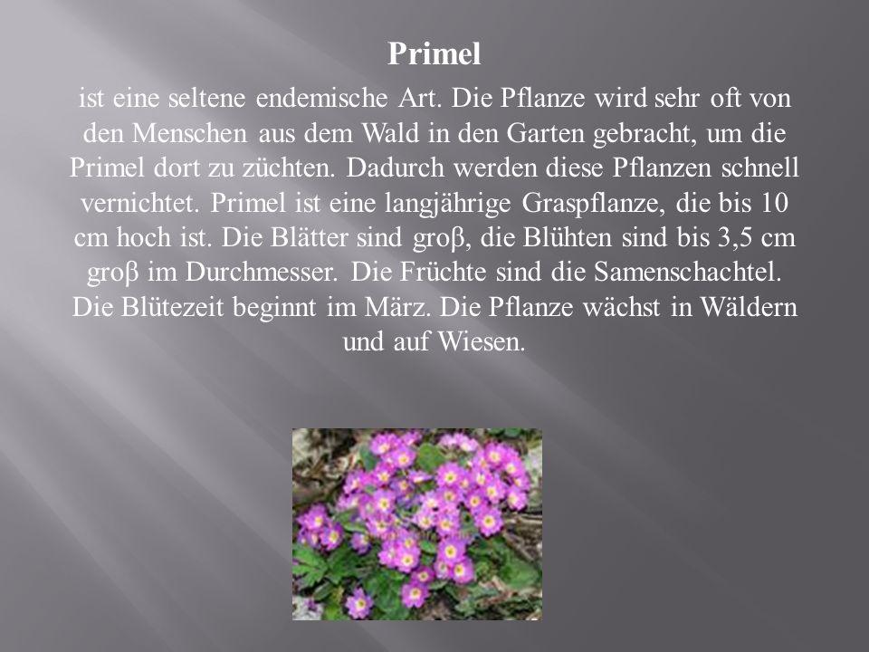 Primel ist eine seltene endemische Art.
