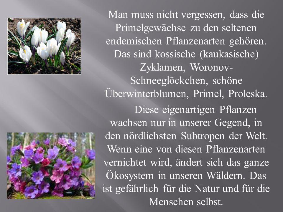 Man muss nicht vergessen, dass die Primelgewächse zu den seltenen endemischen Pflanzenarten gehören.