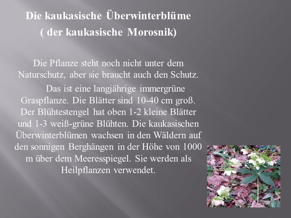 Die kaukasische Überwinterblüme ( der kaukasische Morosnik) Die Pflanze steht noch nicht unter dem Naturschutz, aber sie braucht auch den Schutz.