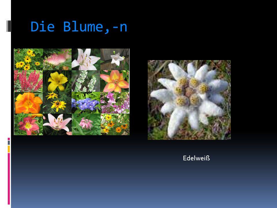 Die Blume,-n Edelweiß