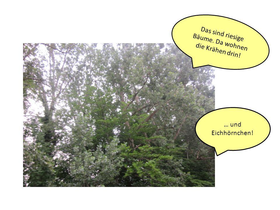 Das sind riesige Bäume. Da wohnen die Krähen drin! … und Eichhörnchen!