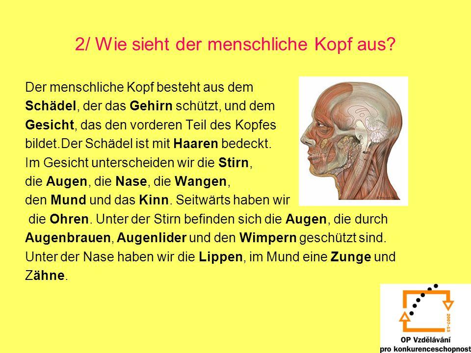 2/ Wie sieht der menschliche Kopf aus? Der menschliche Kopf besteht aus dem Schädel, der das Gehirn schützt, und dem Gesicht, das den vorderen Teil de