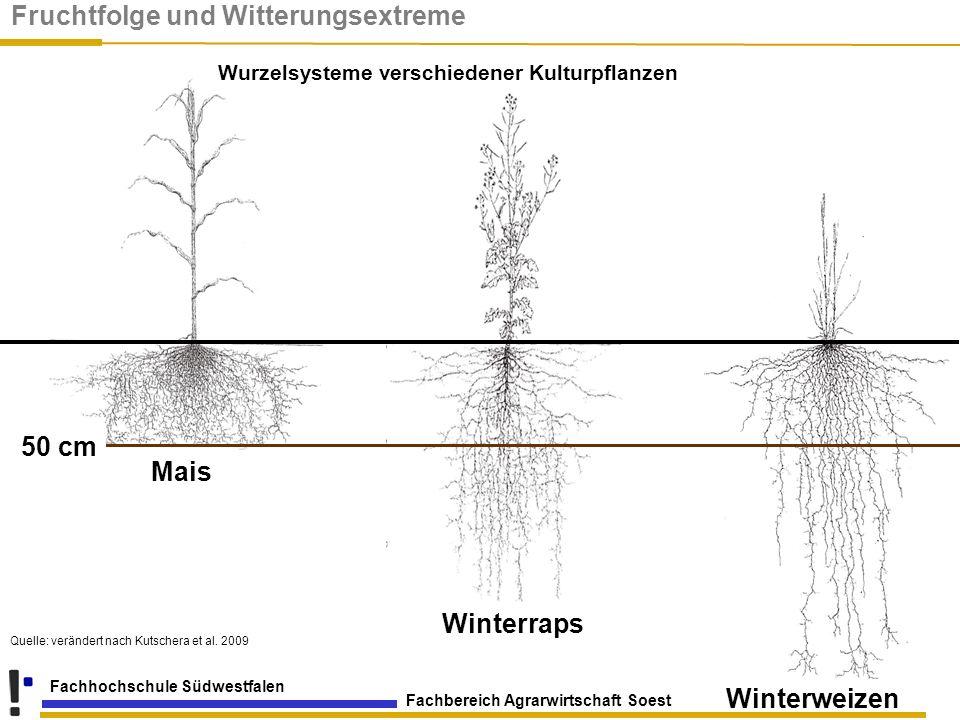 Fachbereich Agrarwirtschaft Soest Fachhochschule Südwestfalen Mais Winterweizen Winterraps 50 cm Wurzelsysteme verschiedener Kulturpflanzen Quelle: ve