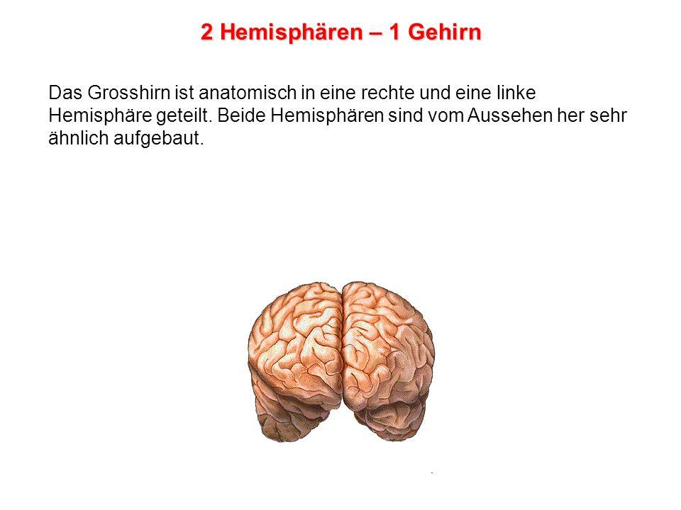 2 Hemisphären – 1 Gehirn Das Grosshirn ist anatomisch in eine rechte und eine linke Hemisphäre geteilt.