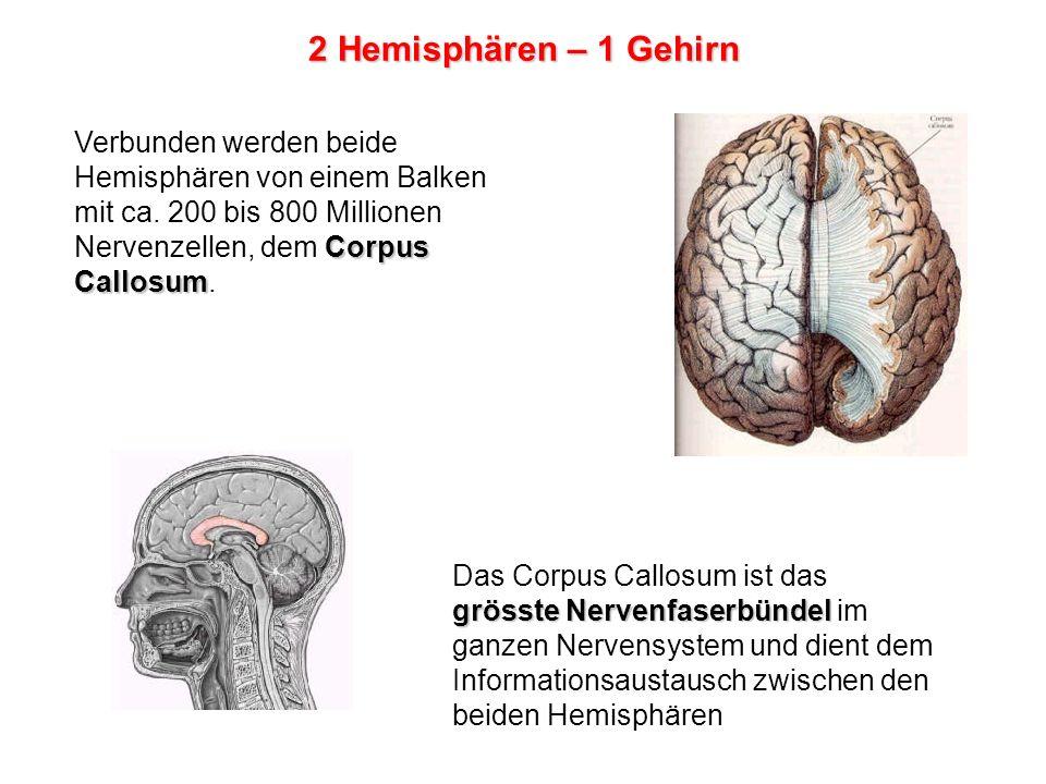 Verbunden werden beide Hemisphären von einem Balken Corpus Callosum mit ca.