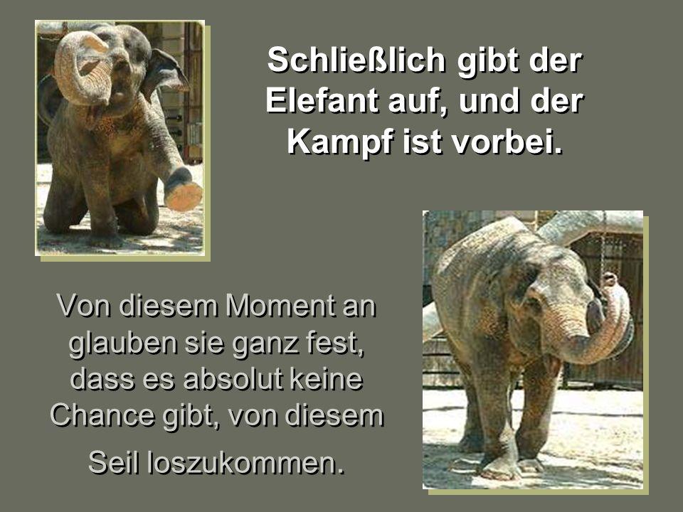 Wie funktioniert das? Wie funktioniert das? Wenn Elefanten noch klein sind und ungefähr 150 Kilo wiegen, werden sie mit einem sehr schweren Seil festg