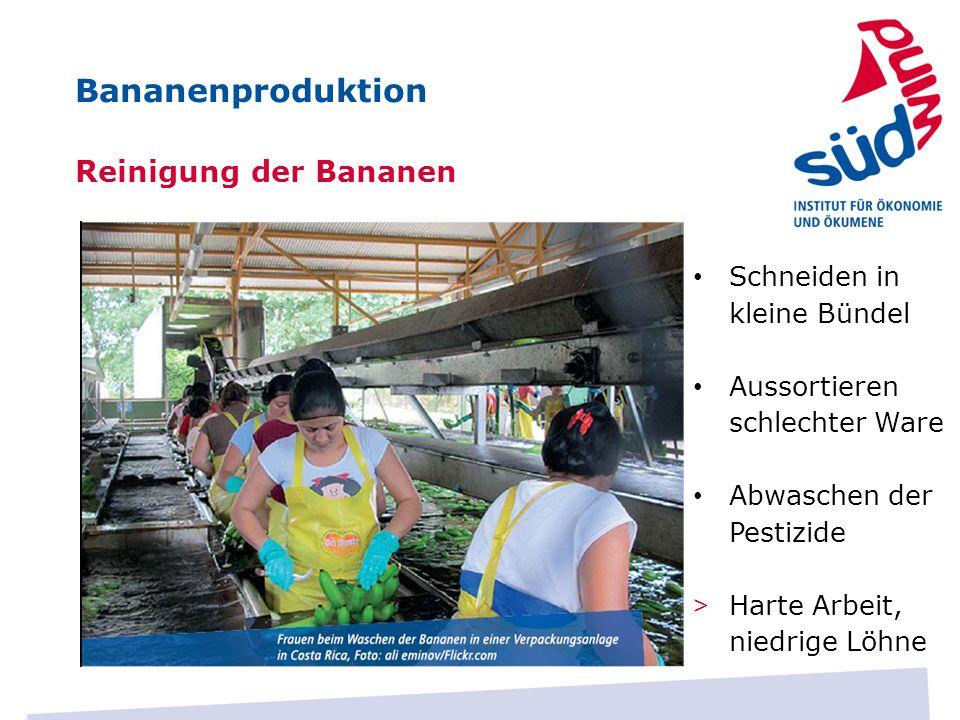 Reinigung der Bananen Schneiden in kleine Bündel Aussortieren schlechter Ware Abwaschen der Pestizide > Harte Arbeit, niedrige Löhne Bananenproduktion