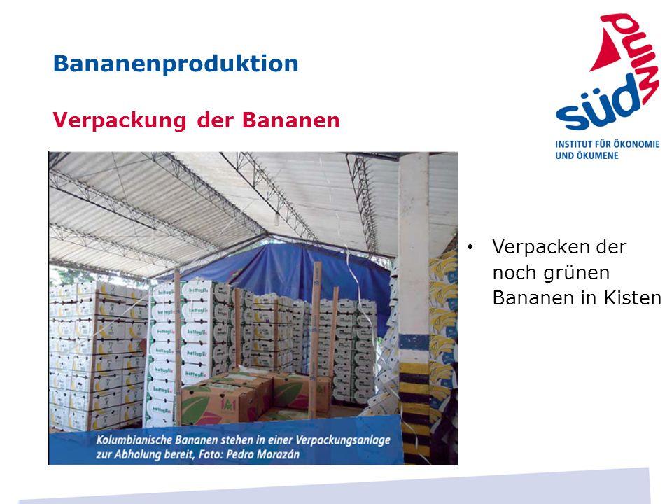 Verpackung der Bananen Verpacken der noch grünen Bananen in Kisten Bananenproduktion