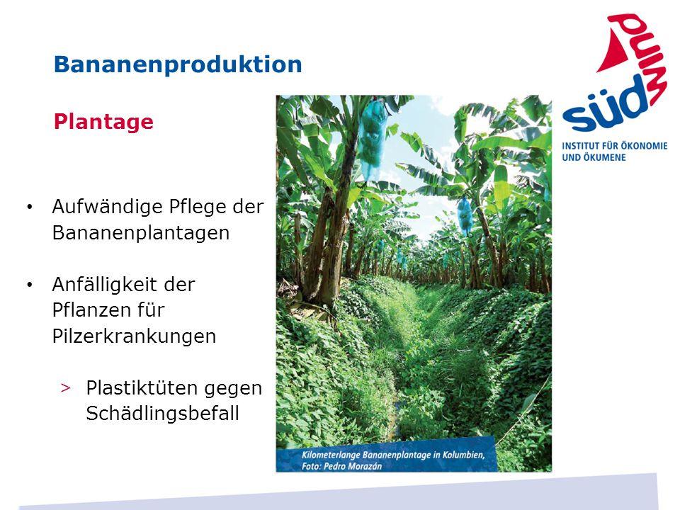 Plantage Aufwändige Pflege der Bananenplantagen Anfälligkeit der Pflanzen für Pilzerkrankungen > Plastiktüten gegen Schädlingsbefall Bananenproduktion