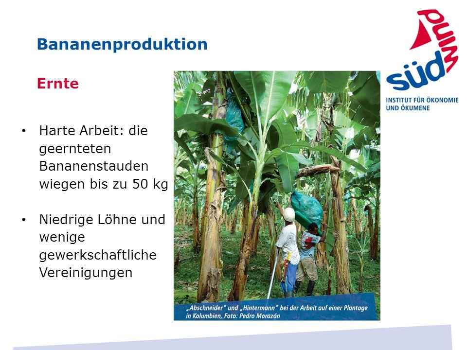 Ernte Harte Arbeit: die geernteten Bananenstauden wiegen bis zu 50 kg Niedrige Löhne und wenige gewerkschaftliche Vereinigungen Bananenproduktion