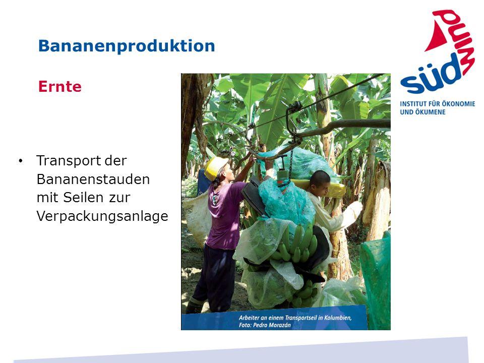 Ernte Transport der Bananenstauden mit Seilen zur Verpackungsanlage Bananenproduktion