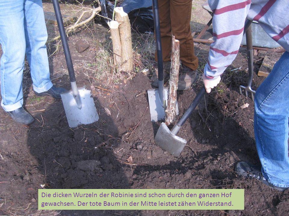Die dicken Wurzeln der Robinie sind schon durch den ganzen Hof gewachsen.