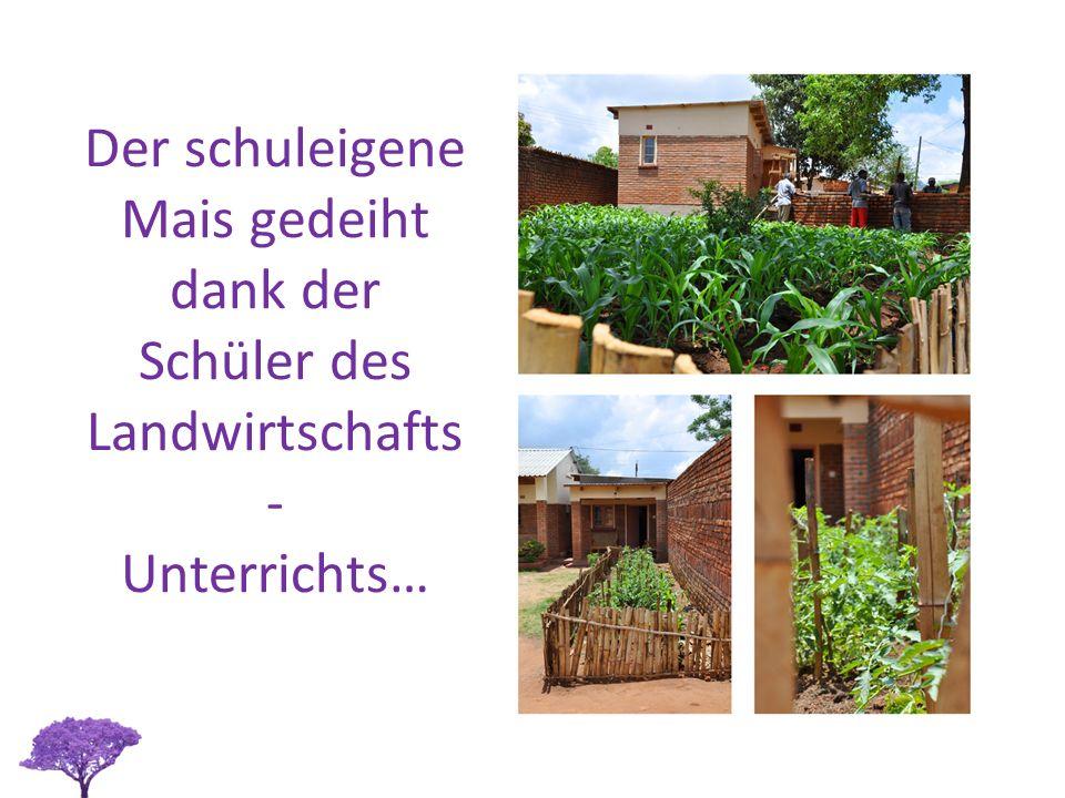 Der schuleigene Mais gedeiht dank der Schüler des Landwirtschafts - Unterrichts…