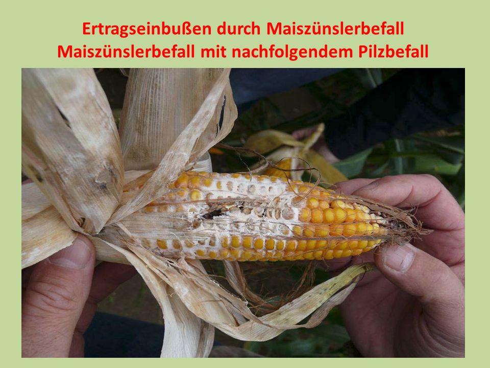 Ertragseinbußen durch Maiszünslerbefall Maiszünslerbefall mit nachfolgendem Pilzbefall