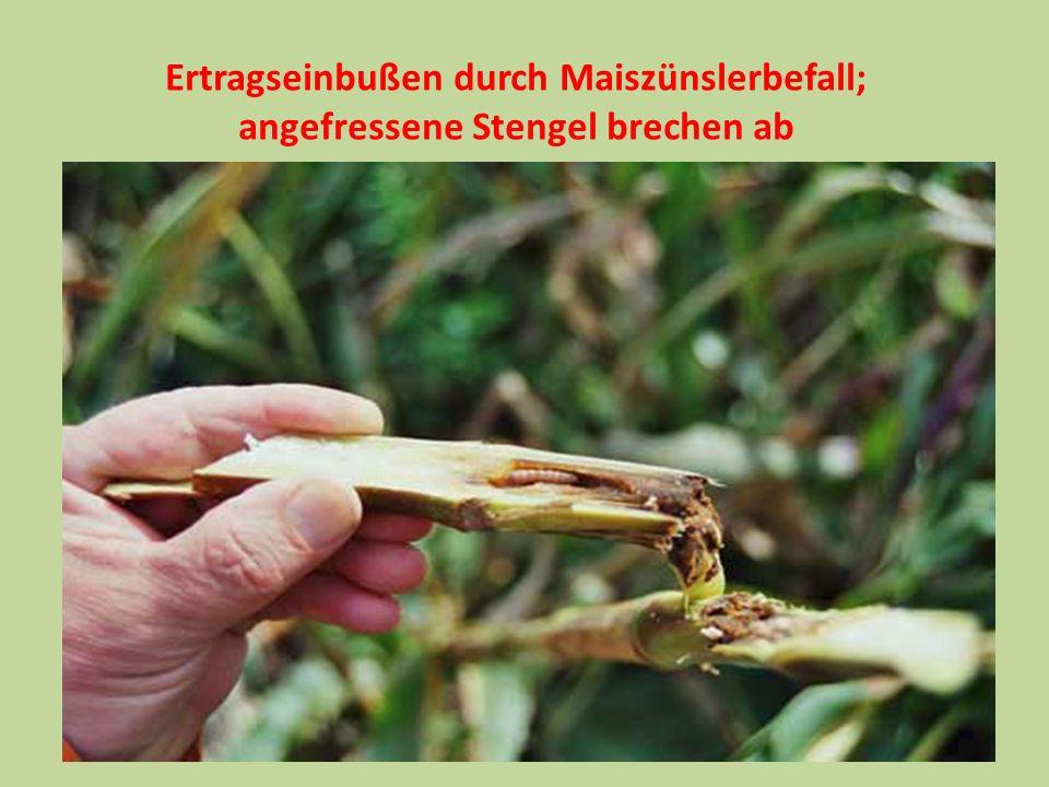 Ertragseinbußen durch Maiszünslerbefall; angefressene Stengel brechen ab