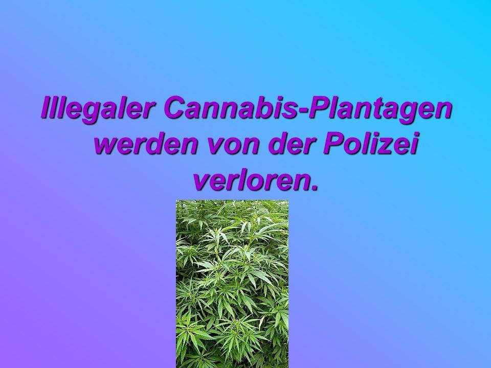 Illegaler Cannabis-Plantagen werden von der Polizei verloren.