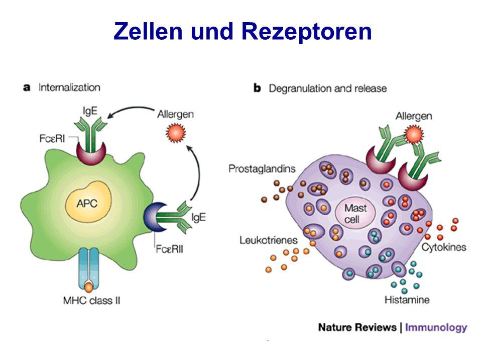 Zellen und Rezeptoren Asthma & Allergie23