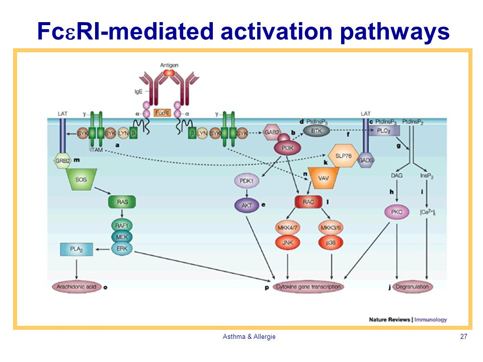 Fc RI-mediated activation pathways Asthma & Allergie27