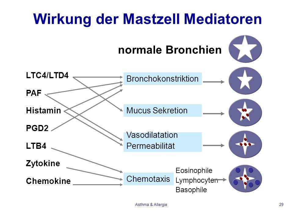 Asthma & Allergie29 Bronchokonstriktion Mucus Sekretion Vasodilatation Permeabilität Chemotaxis Eosinophile Lymphocyten Basophile normale Bronchien Wi