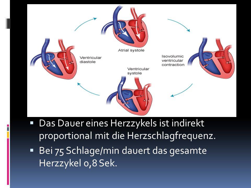 Das Dauer eines Herzzykels ist indirekt proportional mit die Herzschlagfrequenz. Bei 75 Schlage/min dauert das gesamte Herzzykel 0,8 Sek.