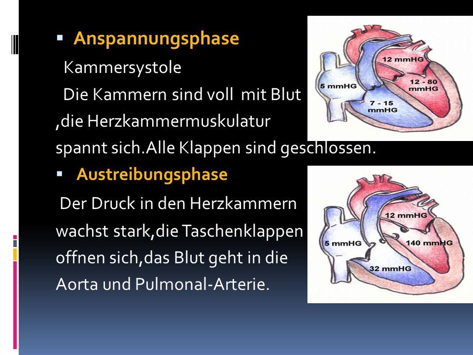 Anspannungsphase Kammersystole Die Kammern sind voll mit Blut,die Herzkammermuskulatur spannt sich.Alle Klappen sind geschlossen. Austreibungsphase De