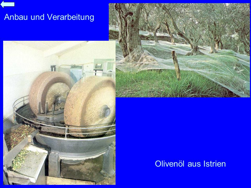Anbau und Verarbeitung Olivenöl aus Istrien