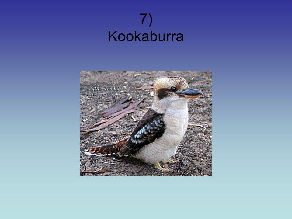 7) Kookaburra